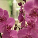 Orchidee FLORA